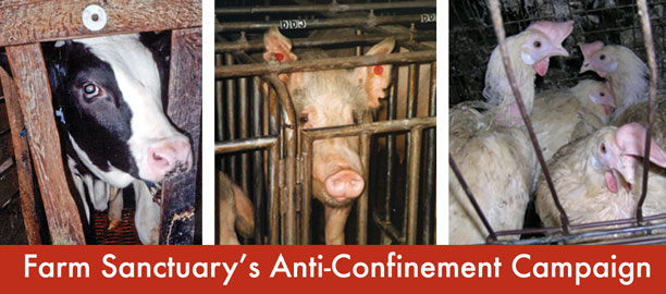 Farm Sanctuary/s Anti-Confinement Campaign