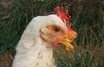 2009_02-18_FSOR_Kiev_chicken_2_CREDIT_Farm_Sanctuary_540x720