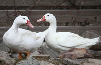 2013_04-15_FSNY_Monet_and_Matisse_ducks_eNEWS.jpg