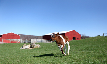 2013_04-22_FSNY_Michael_calf_241_CREDIT_Farm_Sanctuary-ENEWS
