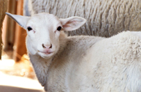 2014_11-16_FSAC_Carlee_sheep_203x132.jpg