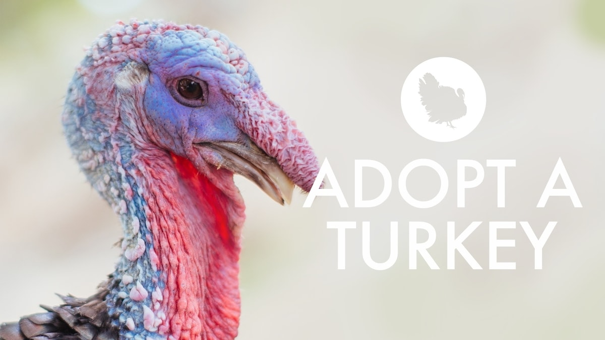 Adopt one of our rescued turkeys this holiday season.