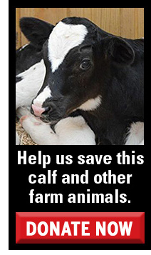 Help us save this calf and other farm animals