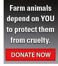 Donate now to protect farm animals from cruelty.