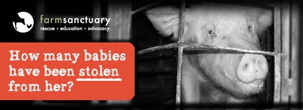 Help free pigs from cruel gestation crates!