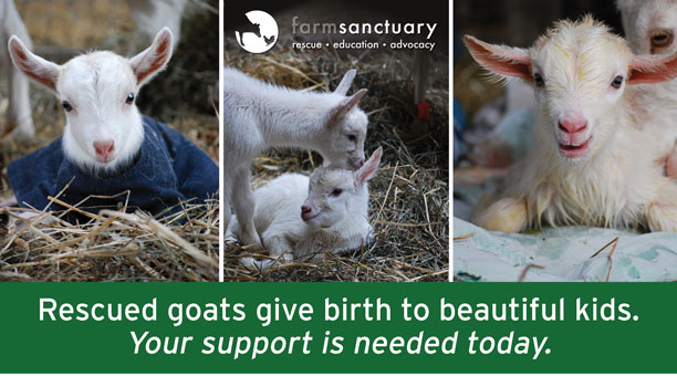 Rescued goats give birth to beautiful kids. Your support is need