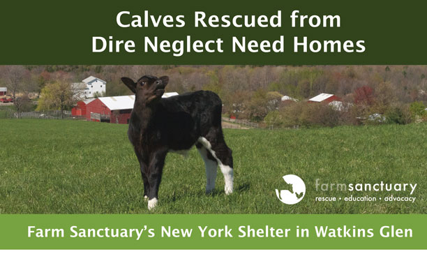 Calves Rescued from Dire Neglect Need Homes